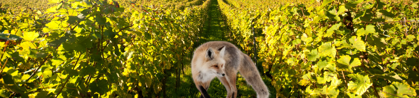 The fox and the grapes - one of the 10 lines short stories with morals.